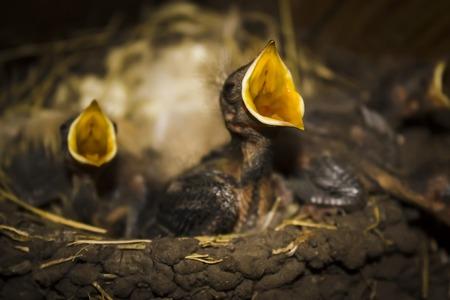 먹이를 먹기 위해 입을 벌리고 붐비는 둥지에서 아기 제비