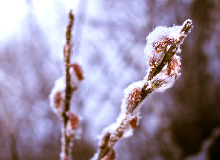 thawing: willow branches that blossomed in the early spring snowing