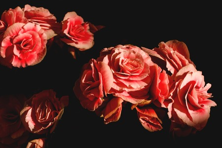 tuberous: spring floral background pink lose up of begonia flowers