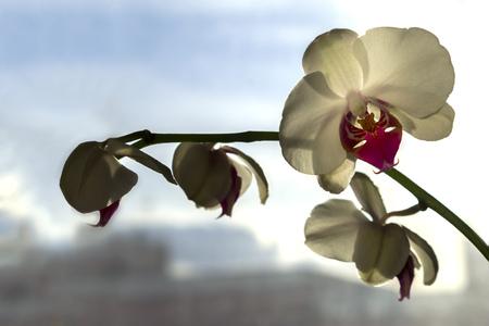 beautifull: Close up of beautifull white orchid flower Stock Photo