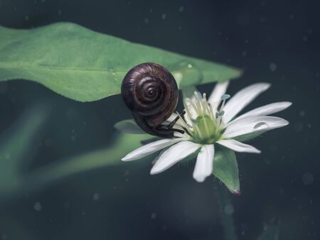 A small brown snail on a green leaf slides on a white flower. Dark background.