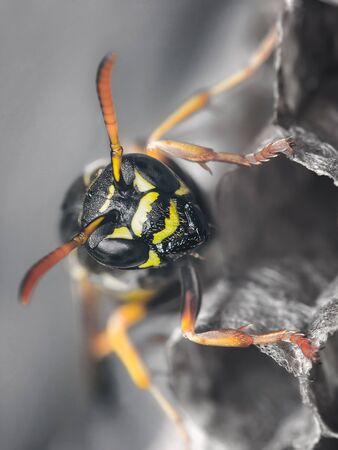 Macro portrait of paper wasp among wasp nests in vespiary