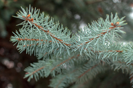Young blue spruce branch with big needles background. Selective focus. Stock Photo