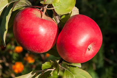 Two red juicy apples on a tree branch with green leaf.. Natural organic farm and agriculture harvest. Stock Photo