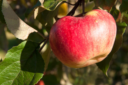 One ripe red juicy apple on a tree with green leaf. Natural organic farm and agriculture harvest.