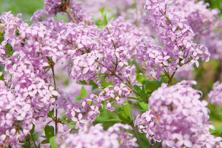 Blossoming bright purple violet lilac flowers on a bush at spring time in the garden or in the park. Flowers as a background for International Womens Day, Valentines Day or Mothers Day. Stock Photo