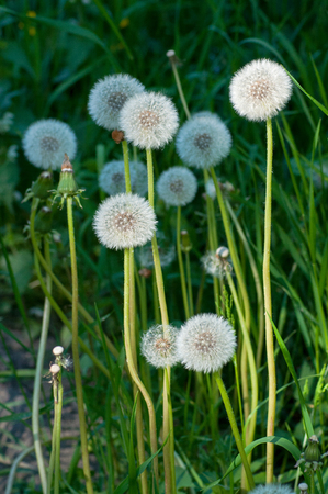 Tall dandelions mixed with green grass.  Ripe dandelions with downy seed heads closeup. On a part of dandelions bright sunlight falls