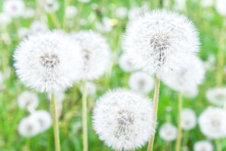 Meadow of ripe dandelions. Ripe white round weedy dandelion with hundreds of seeds. Stock Photo