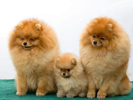 pomeranian: three pomeranian dogs Stock Photo