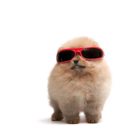 fidelidad: Un pomeranian spitz lleva gafas de sol, aislados en blanco