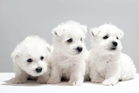 Three west highland white terrier puppies are sitting together Stock Photo - 6140054