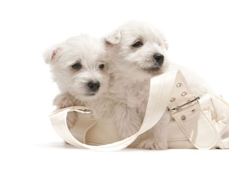 Two west highland white terrier puppies are sitting in the purse photo
