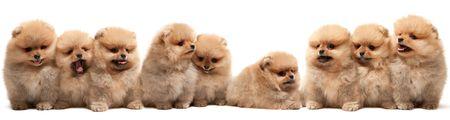 faithfulness: A large group of pomeranian spitz puppy is sitting on the white background, isolated