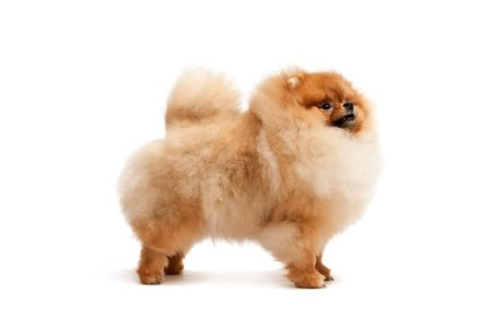 pomeranian: A standing pomeranian spitz, isolated on white background Stock Photo