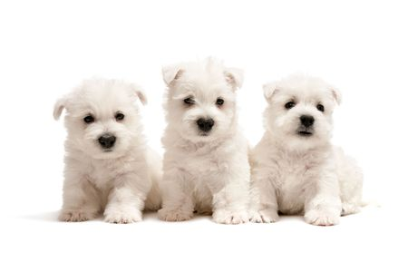 Three west highland white terrier puppies are sitting together; isolated on white background photo