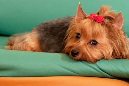 A yorkshire terrier is lying on the green and orange leather sofa Stock Photo - 6559056