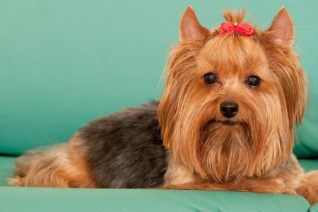Yorkie is lying on the green leather sofa Stock Photo - 6559060