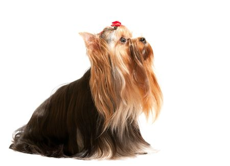 A sitting yorkshire terrier is looking up; isolated on the white background Stock Photo - 6559061