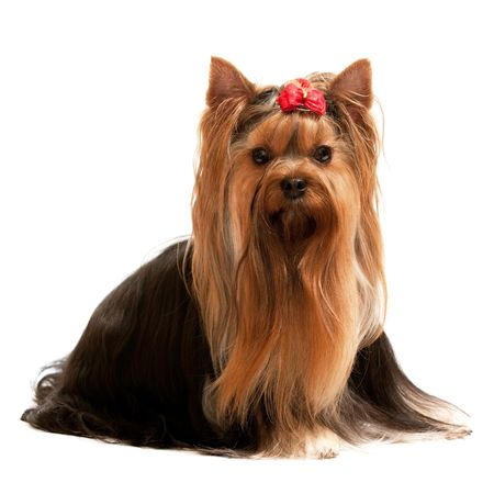 yorkshire terrier: A sitting yorkshire terrier; isolated on the white background