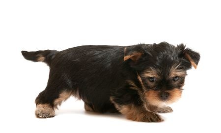 A little puppy of yorkshire terrier; isolated on the white background Stock Photo - 6559084