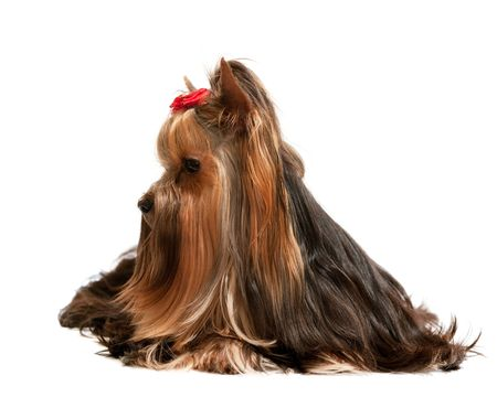yorke: A sitting yorkshire terrier; isolated on the white background