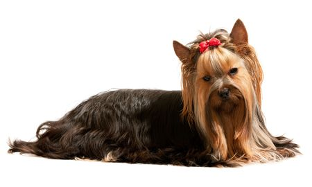 A lying yorkshire terrier with a red ribbon on its head; isolated on the white background Stock Photo - 6559077