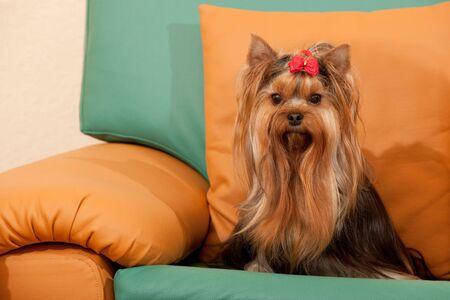 yorke: A yorkshire terrier is sitting on the orange sofa