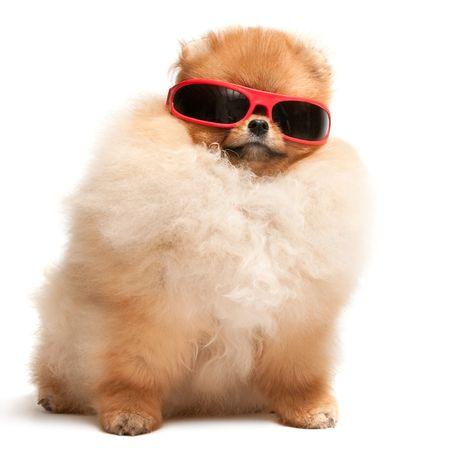 faithfulness: A pomeranian spitz puppy is wearing sunglasses; isolated on the white background Stock Photo