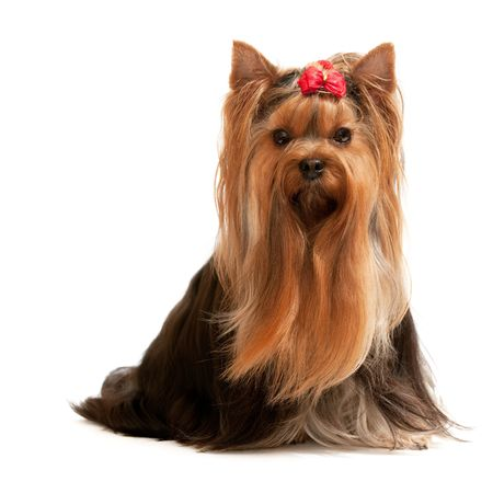 yorke: A portrait of a sitting yorkshire terrier; isolated on the white background
