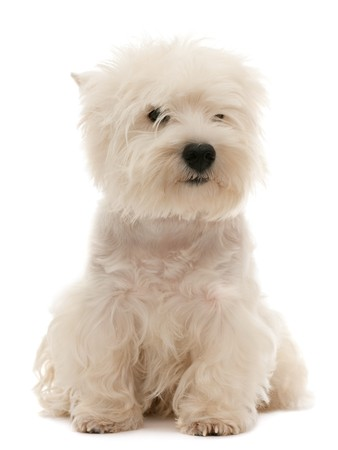A west highland white terrier puppy is sitting; isolated on the white background photo