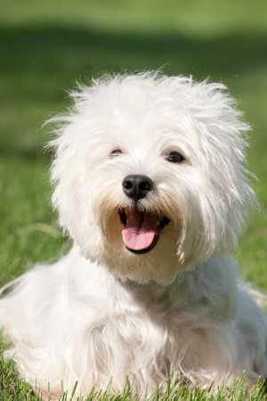 Portrait of a west highland white terrier sitting on the green grass photo