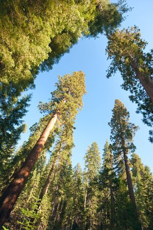 beautiful woodland: Trees against the sky in Yosemite; USA