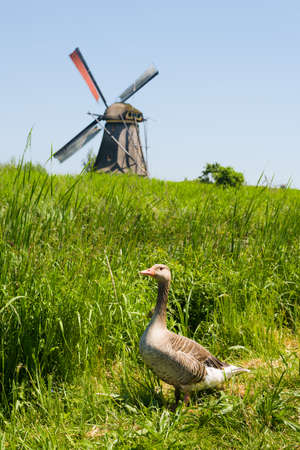 wildfowl: A duck against the windmill in Kinderdijk