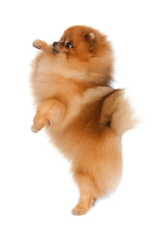 A little dog is standing on his hind legs on the white background photo