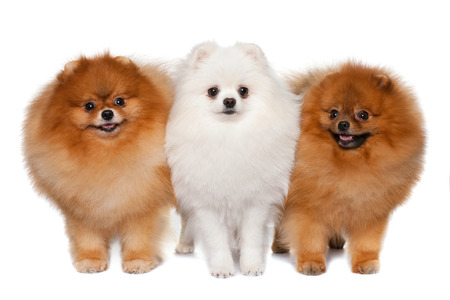Group of three pomeranian spitzes are standing together photo