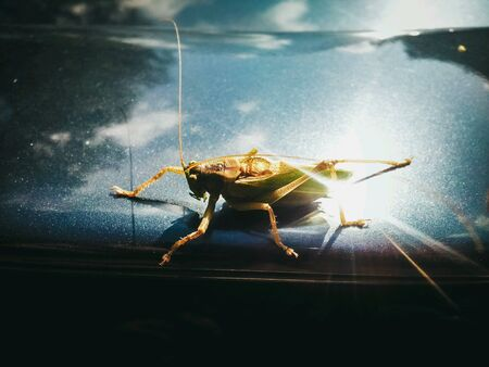 surface: Grasshopper sitting on metal surface with sun reflection Stock Photo
