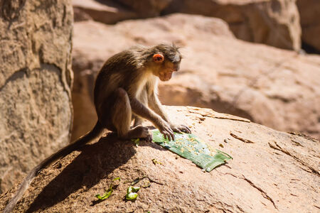 marmoset: Monkey eating on the rock in mountain