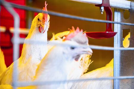 incubator: Chicken in farm incubator or coop. Farmland industry