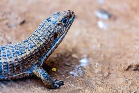 viviparous: Lizard or lacertian reptile sitting on the ground