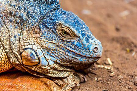 head in the sand: Closeup of iguana or lizard head on yellow sand in desert