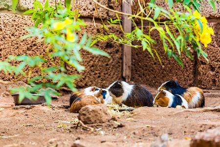 cavie: Cavie famiglia o criceti che mangiano a terra nel giardino zoologico
