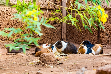 hamsters: Guinea pigs family or hamsters eating on the ground in zoo Stock Photo