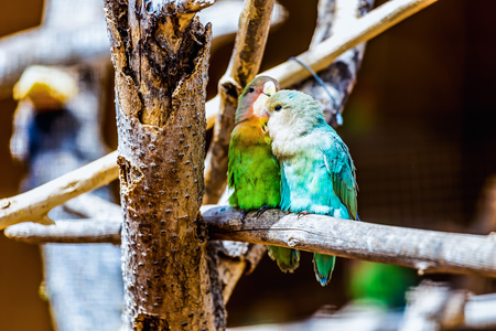 lovebirds: Peach-faced Lovebirds parrots siting on wooden perch in zoo Stock Photo