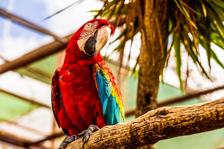 cockatoos: Red Macaw or Ara cockatoos parrot siting on wooden perch in zoo Stock Photo