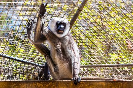 hanuman: Gray langurs or Hanuman langurs monkey in zoo cell Stock Photo