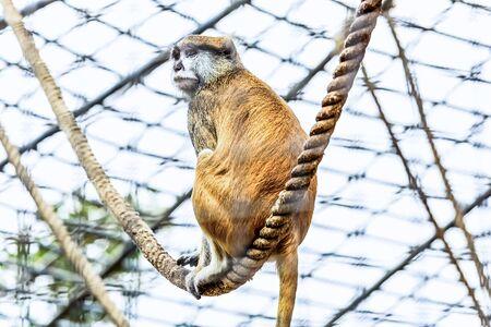 cel: Scimmia seduta sulla corda in zoo cel Archivio Fotografico
