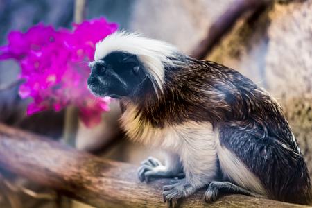 marmoset: Monkey titi cotton-top tamarin sitting on tree in zoo Stock Photo