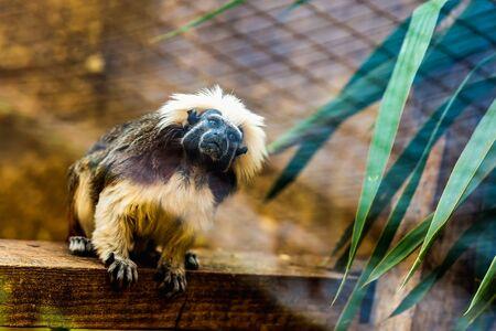 marmoset: Monkey titi cotton-top tamarin sitting on wood board in zoo