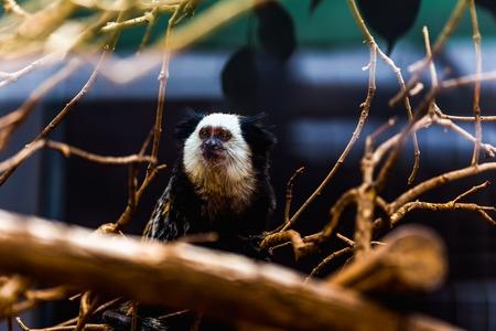 blanca: Monkey white-faced capuchin or titi de cara blanca sitting on wood in zoo