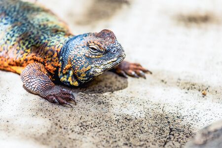 animal viviparous: Lizard or lacertian reptile sitting on the ground
